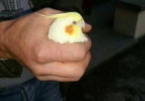 pappagallo smarrito via bronzino