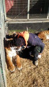 Circo Medrano addestratore Giordano Caveagna e le sue tigri (2)