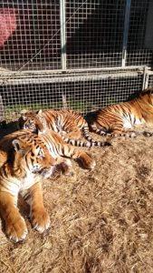 Circo Medrano le tigri (1)