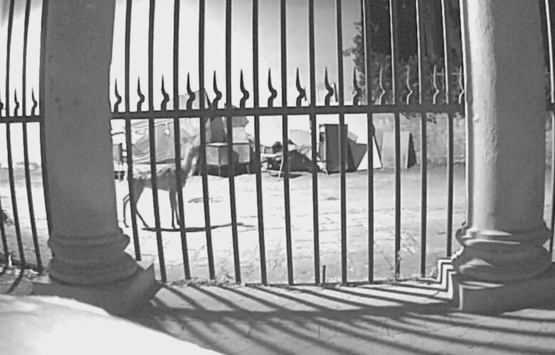 Un capriolo che passa indisturbato in via di Monte Oliveto, davanti alla chiesa. Negli ultimi anni sulle colline di Bellosguardo, Marignolle e Soffiano, gli ungulati rappresentano un problema per la sicurezza stradale e l'agricoltura.